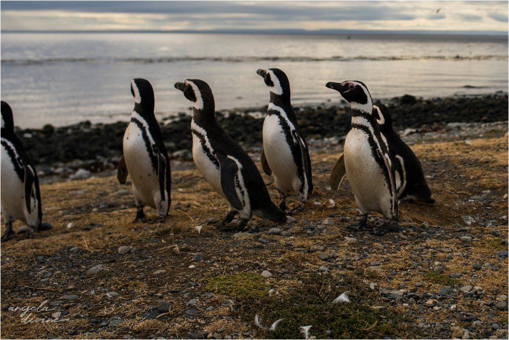 Punta Arenas Isla Magdalena penguins walking