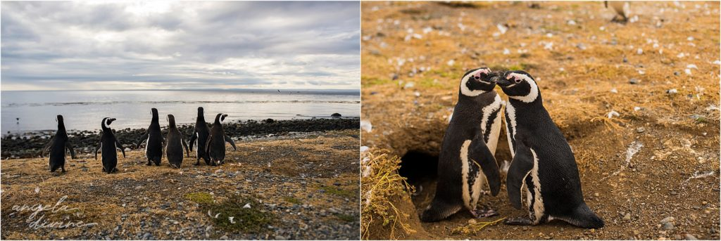 Punta Arenas Isla Magdalena penguins hugging