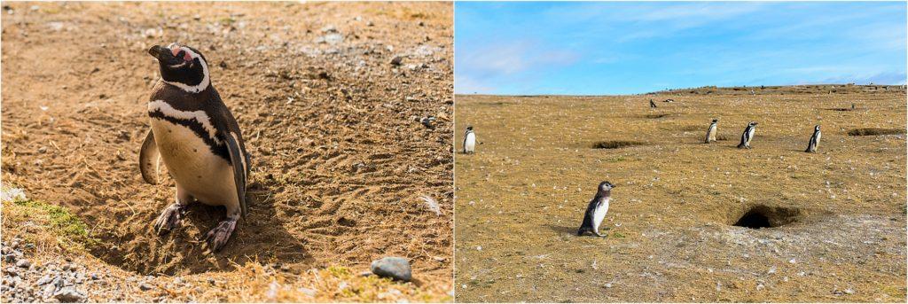 Punta Arenas Isla Magdalena penguin burrows